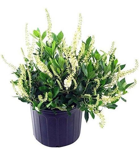 Clethra Aln Colibri Summersweet Arbusto Flores Blancas 3 Tam