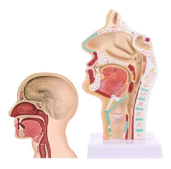 Anatomia Nasal Modelo Macro Manequim Otorrino Garganta