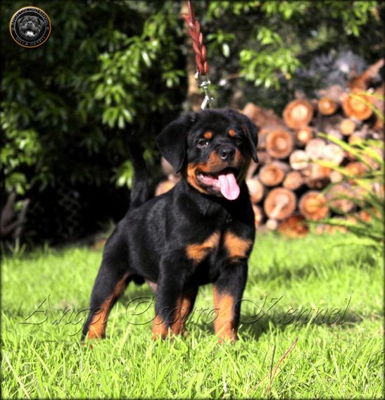 Cachorros Rottweiler - Angel Oscuro - Excelentes (con Fca)