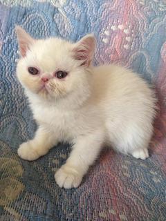 Gatos Persas Exóticos