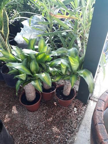 Planta Palo De Agua Tronco Grueso !!!!