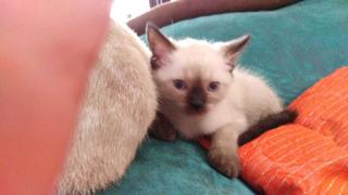 Gato Siamés Cruzado Con Persa
