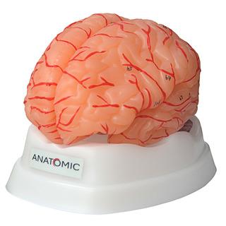 Cérebro Com Artérias, Em 9 Partes