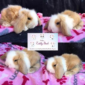Mini Coelho Fuzzy Lop Teddy Lop Exóticos E Raros