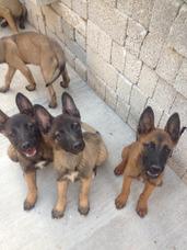 Cachorros Belga Malinois