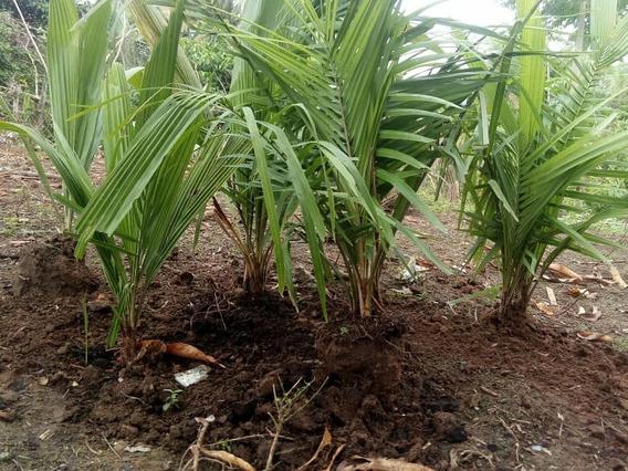 04 Mudas Da Palmeira Do Coco Babaçu( Frutos Comestíveis )