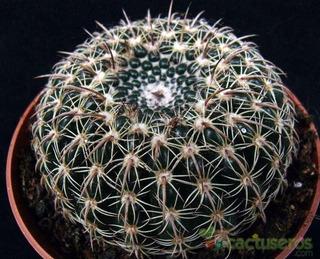 50 Semillas De Cactus Parodia Concina Ssp Blaauwiana