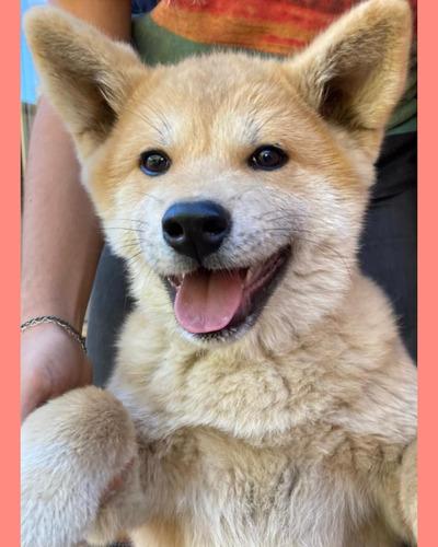 Cachorra Akita Inu Inscrita.
