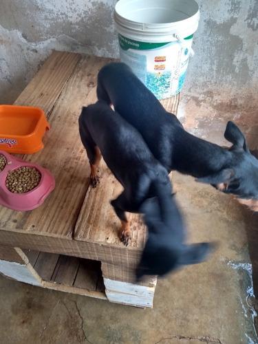 Imagem 1 de 3 de Cachorro Pinscher Número Um Casal Mãe E Filho Ambos Menos De