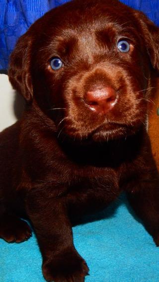 Cachorros Labrador Chocolates Calquin