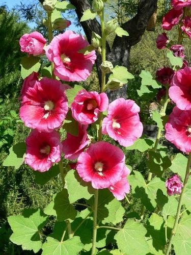 15 Semillas Flor Malva Real + Obsequio Germinación