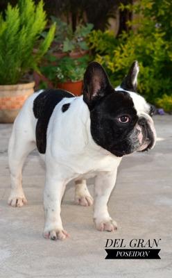 Bulldog Frances En Servicio De Inseminacion.