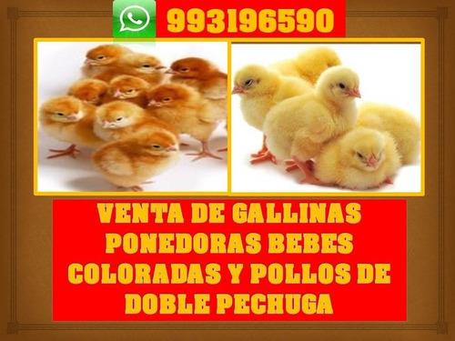 Venta De Gallinas Ponedoras Coloradas, Pollito Doble Pechuga