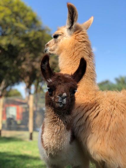 Cabritos E Também Carneiros, Lhama Mini Cabras, Emus...