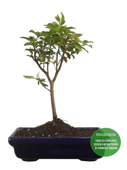 Bonsai De Jabuticaba Plantas Para Jardim No Mercado Livre