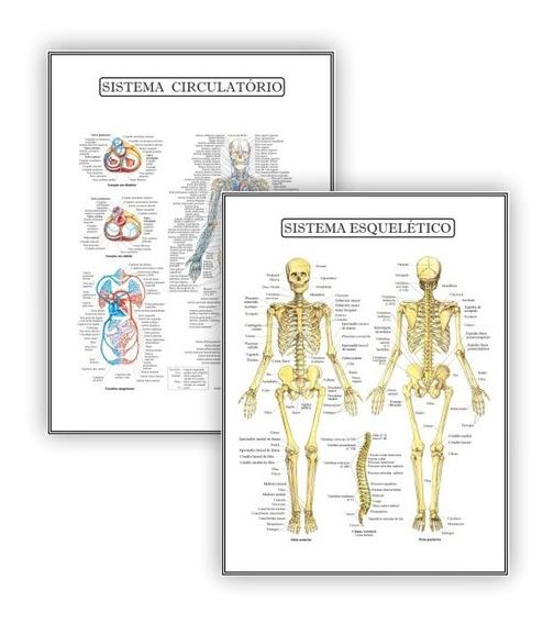 2 Posteres Educação Circulatório Esquelético - Plastificado