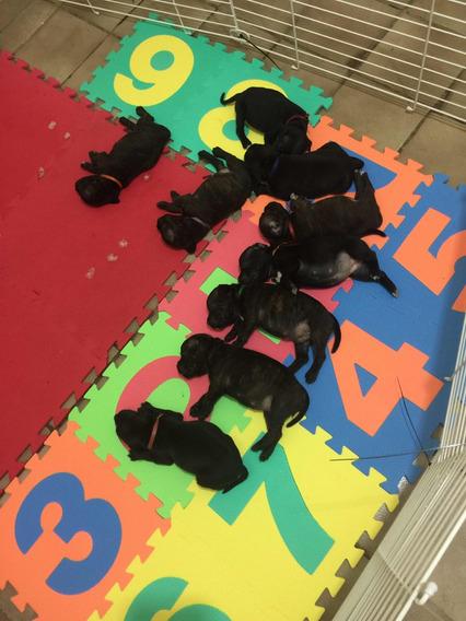 Filhotes Stafforshire Bull Terrier @staffordshirejullysofi