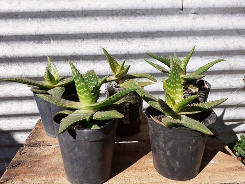 Aloe  Vera 10 A 15 Cm De Diámetro