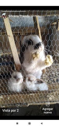 Imagen 1 de 6 de Conejos Holland Lop