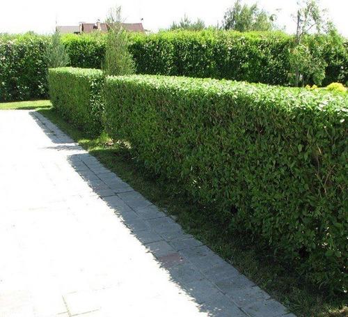 Imagen 1 de 4 de Sobre Para Sembrar 25 Plantas De Ligustrina Cerco Natural