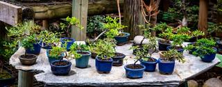 Bonsai Mini 10 Cm Diferentes Especies