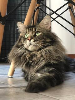 Maine Coon Hermosos Gatitos