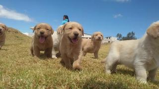 Vendo Labrador Retriveer De 2 Meses Envíos A Todo