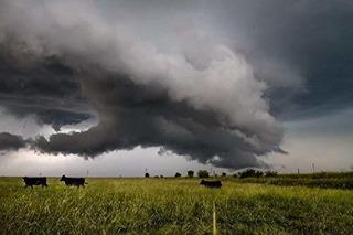 Negro Angus Cattle Photography Print - Imagen Del Ganado Que