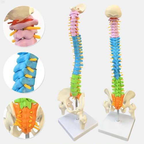 Coluna Vertebral Esqueleto - Anatomia Humana - 45cm Colorida