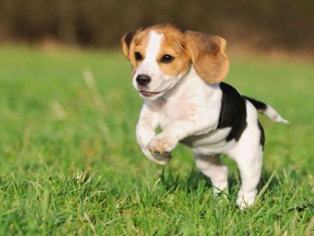 Cachorros Beagle Macho