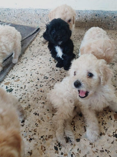 Cachorros Poodle Mini Toy
