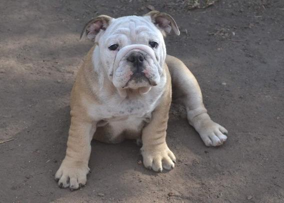 Bulldog Inglês Fêmea - Beller Kennel