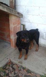 Rottweiler Raza Aleman Busca Novia, Para La Monta .