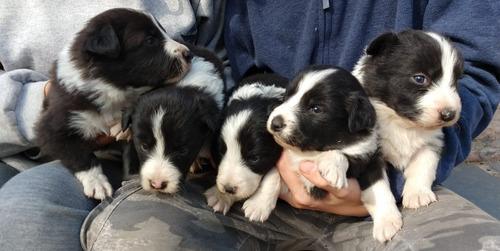 Imagen 1 de 10 de Cachorros Boder Collie