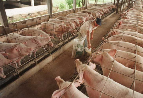Aprenda Paso A Paso Cria De Cerdos Chanchos Negocio Rentable