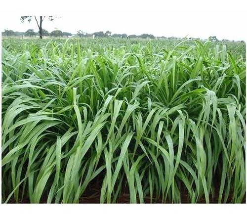 Semillas De Pasto Tanzania 100% Brasileras Bolsa 1 Kilo