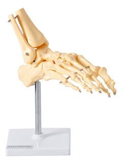 Esqueleto Do Pé Com Ossos Tornozelo