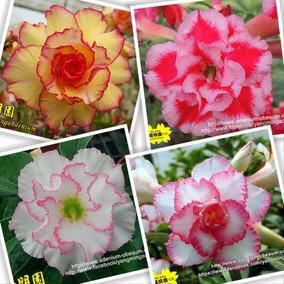 Adenium Rosa Deserto - 20 Semente Rosa Deserto Frete Grátis