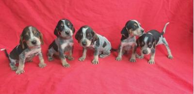 Vende Criadero Cachorros Sabuesos Finos Colombianos