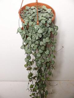 Planta Colgante- Ceropegia Woodii/ Collar De Corazones