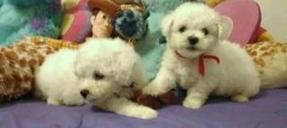 Cachorros French Poodle Mini Puros