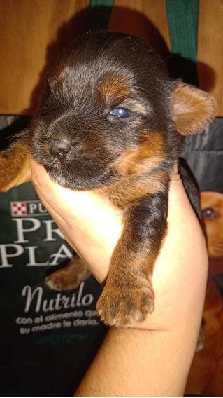 Cachorro Yorkshire Terrier Acero Y Fuego (reserva)