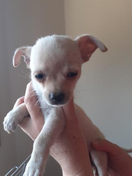 Chihuahuas Mini Macho