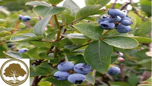 Imagen 1 de 5 de Blueberry , ( Arbol ) 1 M Var  Biloxi Highbush