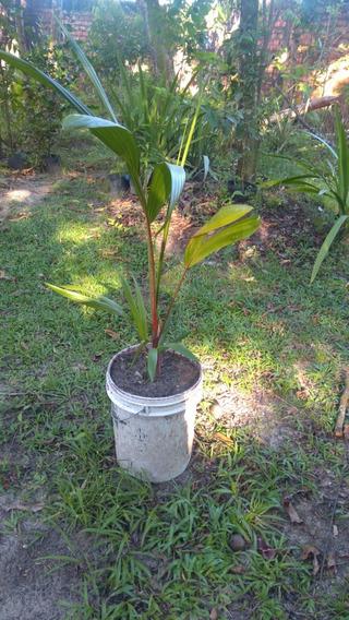 Muda 90 Cm Palmeira Laca Vermelha Cyrtostachys Renda