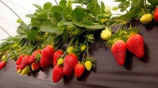 Semillas De Arbusto Fresas Rojas (fragaria)