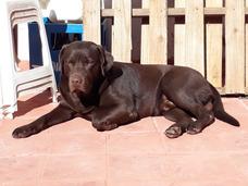 Labrador Chocolate Ofrece Cruza/servicio/monta/stud C/pap