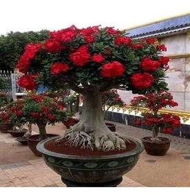 30 Sementes Rosa Do Deserto Mix P/mudas Adenium Frete Grátis