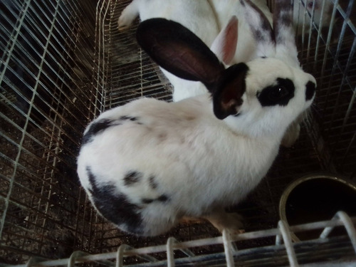 Conejos Chicos Y Conejos Faenados