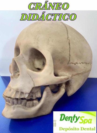 Cráneo Didáctico
